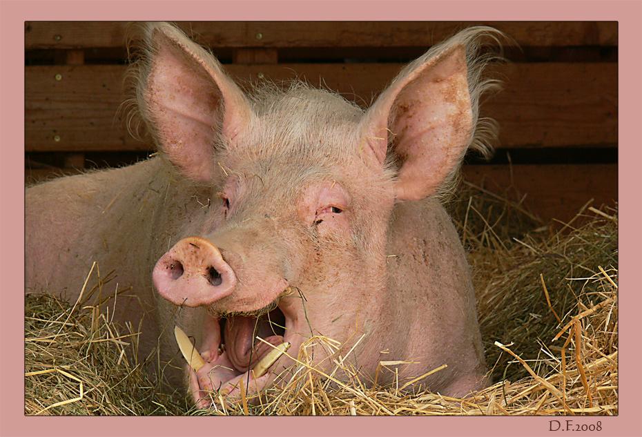 Schweine Eber