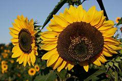 das lächeln der sonnenblumen