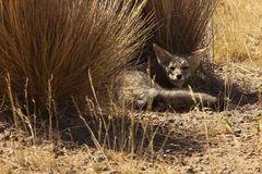 Das Lächeln des patagonischen Fuchses!