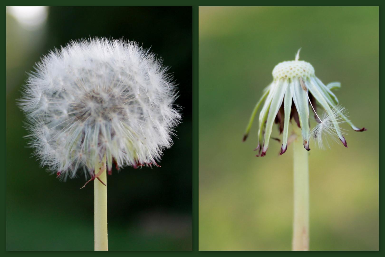 Das Leben ist wie eine Pusteblume