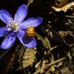 Das Leberblümchen (Hepatica) und der bunte Besuch