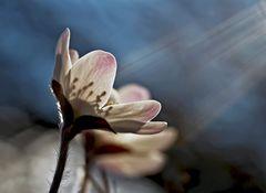Das Leberblümchen nimmt die Sonnenstrahlen in sich auf! - L'hépatique se tourne vers le soleil!