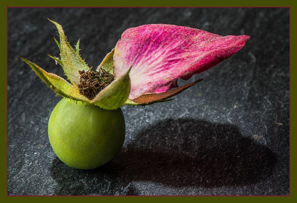 das letzte bl tenblatt foto bild natur frucht der heckenrose spezial bilder auf fotocommunity. Black Bedroom Furniture Sets. Home Design Ideas