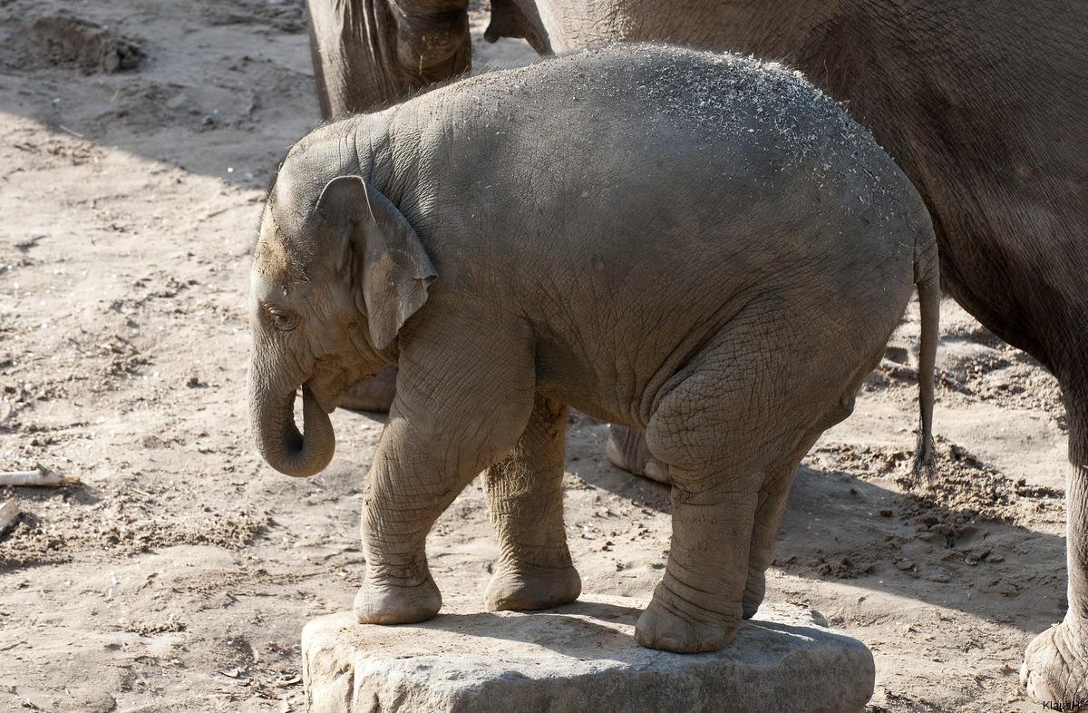 Das letzte Elefantenbaby im Kölner Zoo, Rajendra, ...