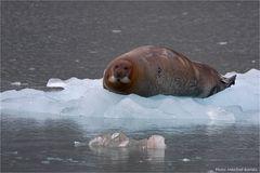 Das Liebeslied der Robben....