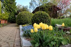 Das macht mich traurig... meine gelben Tulpen ...