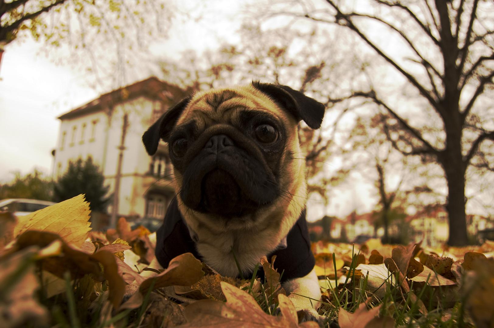das Mopskind im Herbst