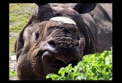 das Nashorn ohne Horn 2