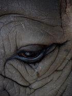 Das Nashorn - seht Ihr die Tränen?