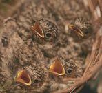 Das Nest fiel einem grossen Rollfabriktor zum Opfer , verm auch einige Geschwisterchen.