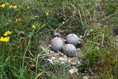 Das Nest vom Austernfischer Nr.2