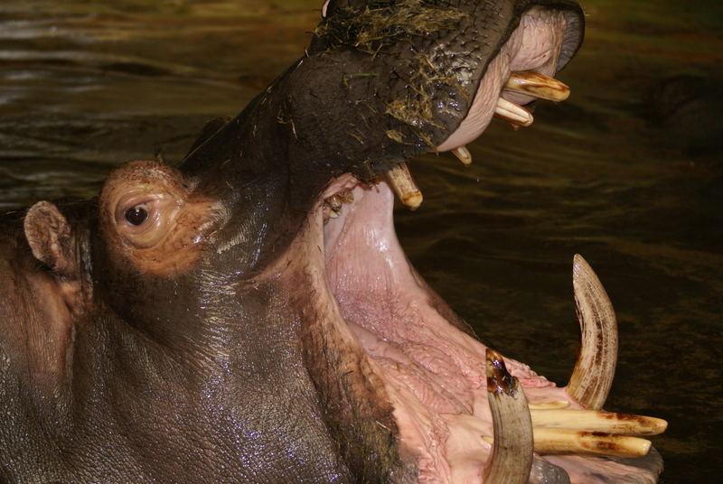 Das Nilpferd mußdringend zum Zahnarzt!