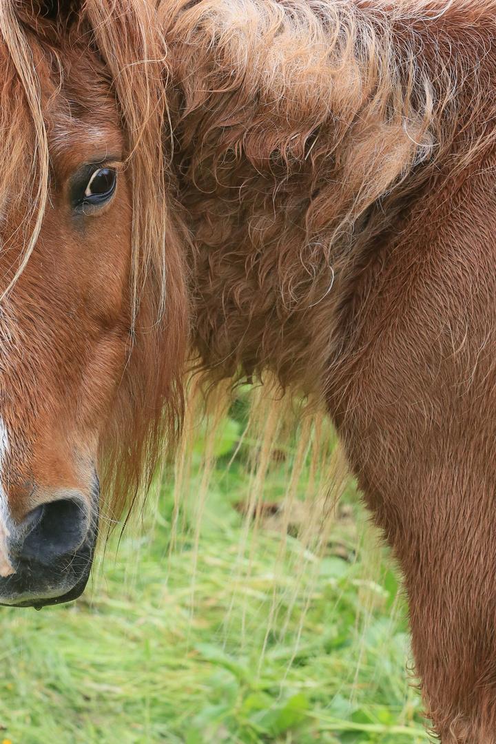 Haustier Pferd