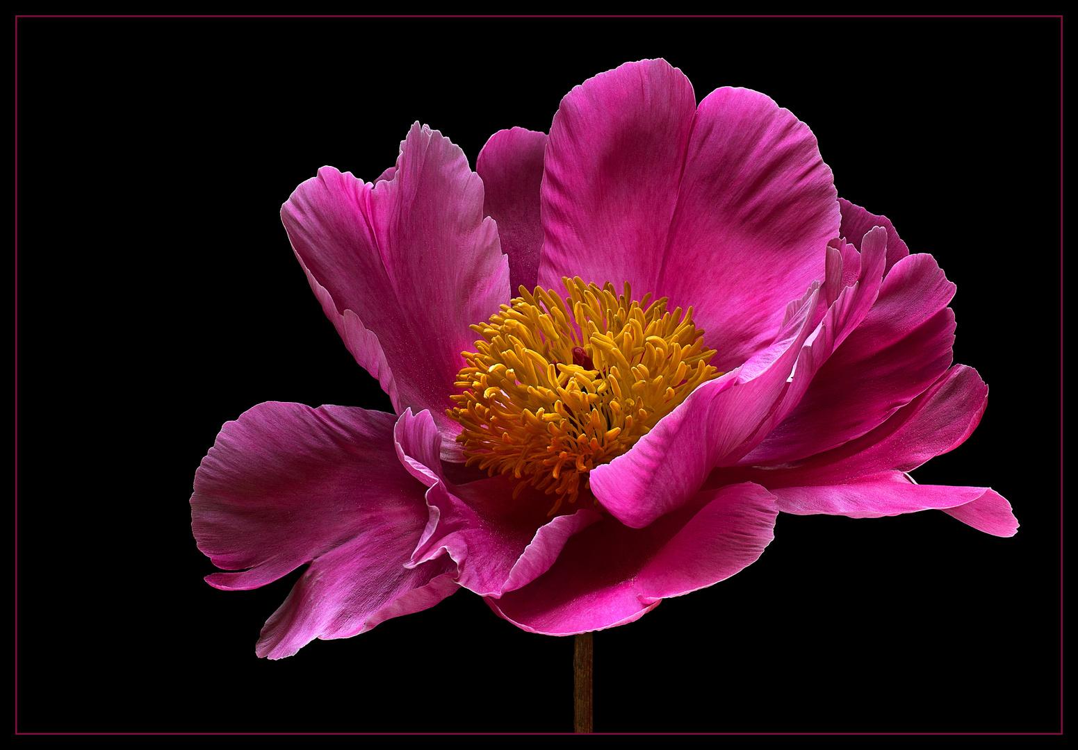 Das Pfingstfest hat der edlen Blume ihren Namen gegeben