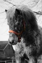 Das Pony mit dem roten Halfter