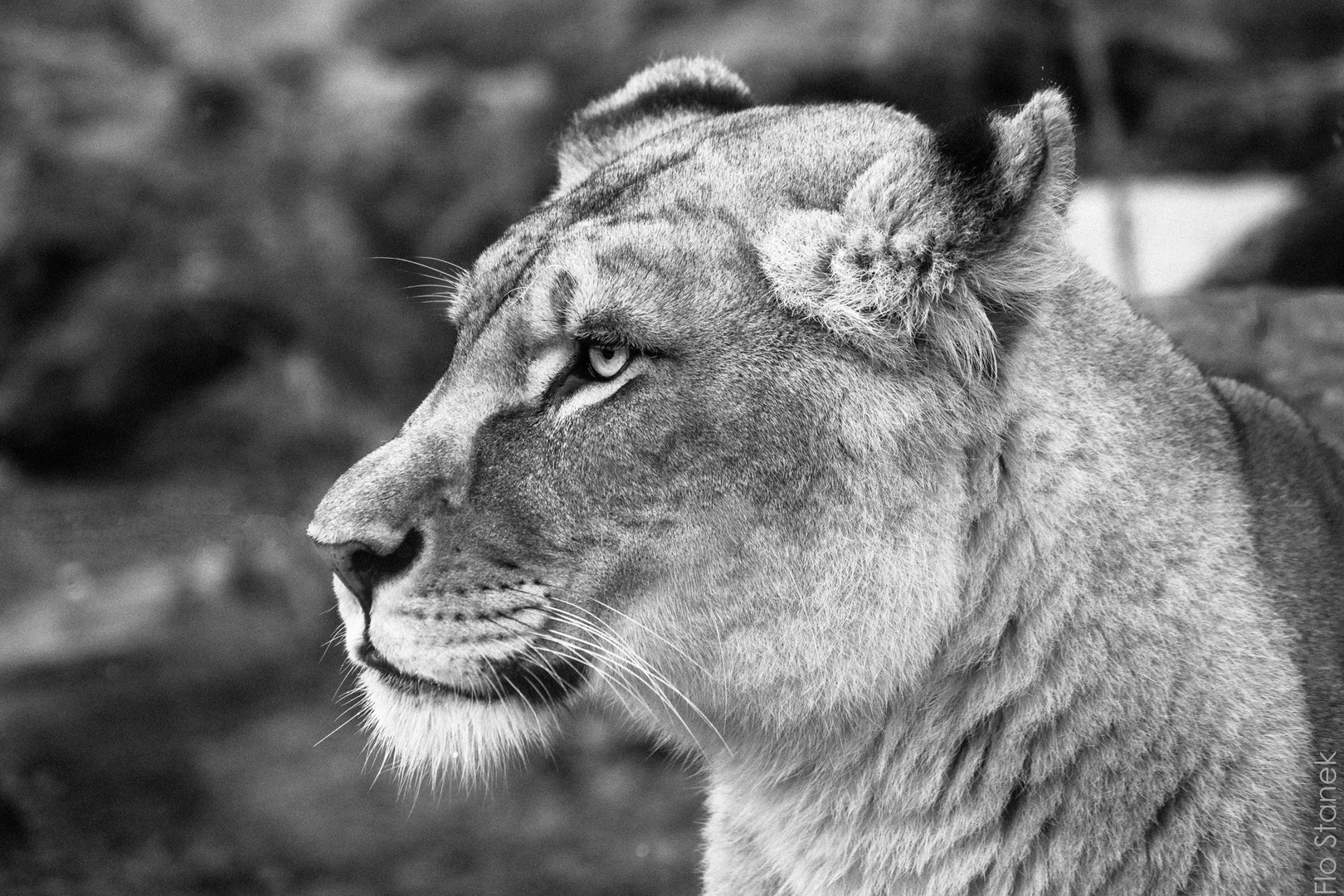 Das Portrait einer Löwin