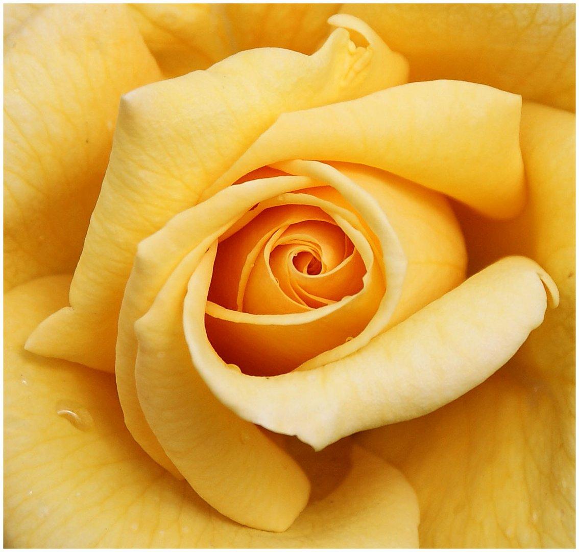 Das Roseninnere