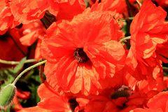 Das rote Blütenmeer