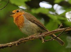 Das Rotkehlchen, einer unserer häufigsten Singvögel.