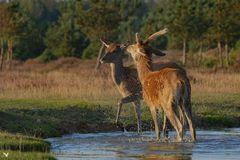 Das Rotwild - Paar (Cervus elaphus) ...