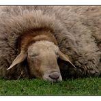 Das Schaf denkt sich ...