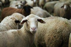 das Schaf Namens ....