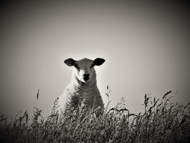Das Schaf Rosa...