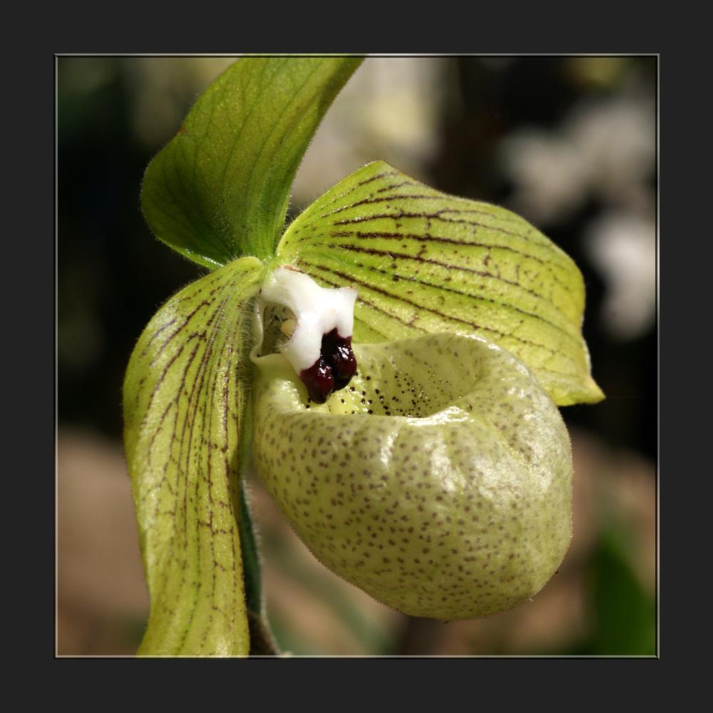 Das Schleckmaul unter den Orchideen