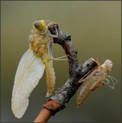 das schlüpfen der libellen