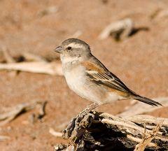 das schmucke Sperlings - Weibchen