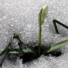 Das Schneeglöckchen im Schnee