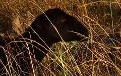 Das Schwarze Panther Schaf
