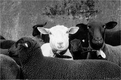 """Das """"schwarze"""" Schaf..."""