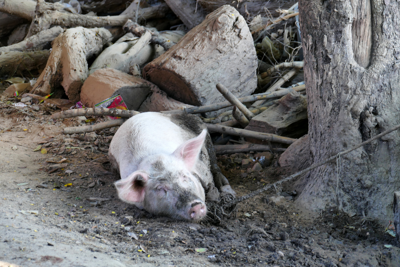 Umkreist Das Schweinchen
