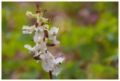 ...das selbe in Weiß... - Hohler Lerchensporn (Corydalis cava)