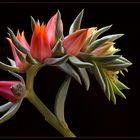 Das sind die wundervollen Blüten einer Echeveria Cheyenne