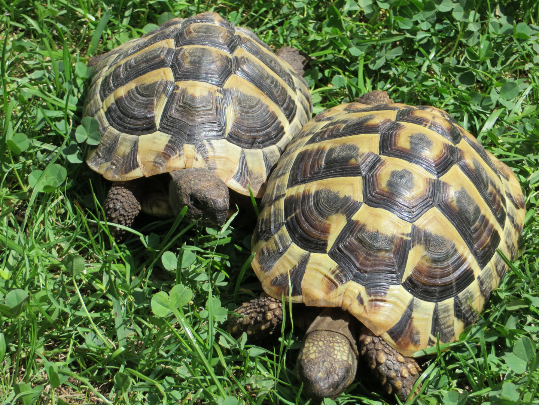 Das sind unsere Griechischen Landschildkröten Paul und Pauline in unserem Garten.