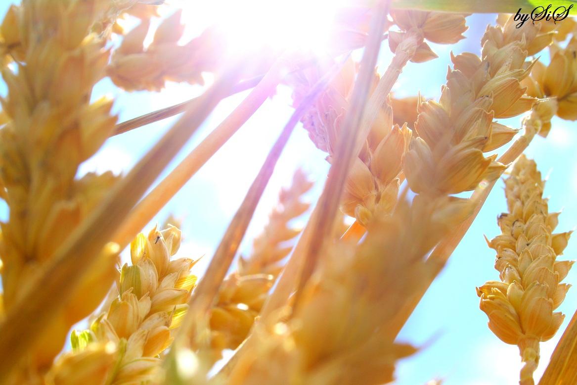 das sommer korn