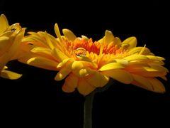 Das Sonnenperlchen
