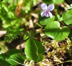 Das Sumpf- Veilchen (Viola palustris)