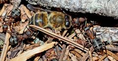 Das traurige Los einer Biene auf dem Ameisenhaufen! - Le triste sort d'une abeille ...