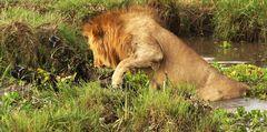 Das unfreiwillige Bad eines Löwen :)