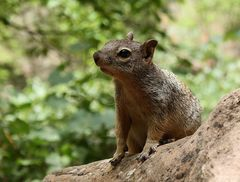Das Utah-Felsenziesel (Spermophilus variegatus utah)...