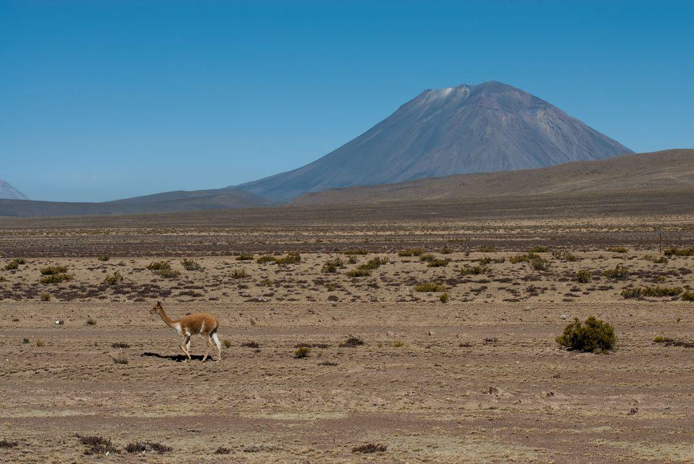 Das Vicuña und der Vulkan