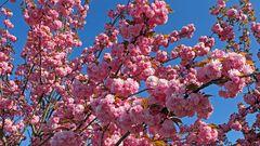 Das volle Blütenleben der Japanischen Zierkirsche Prunnus serulata