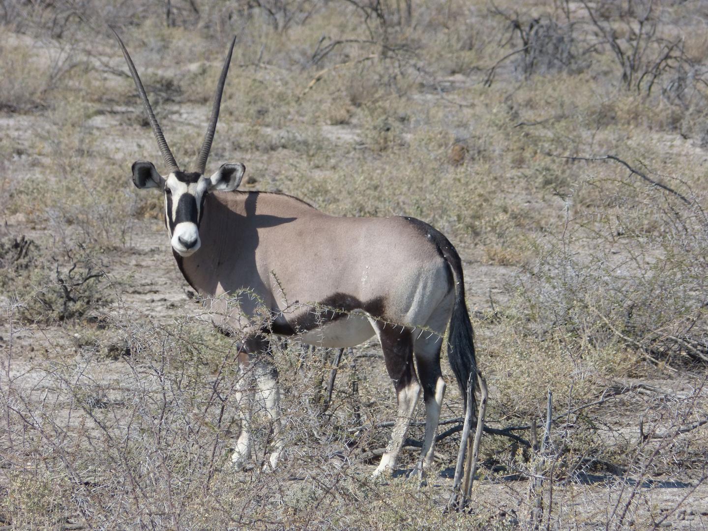 Das Wappentier Namibias