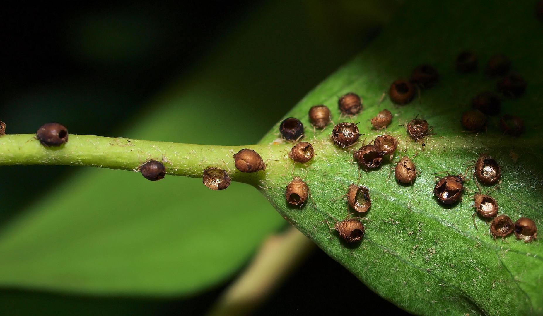 Das waren mal Blattläuse....sie wurden parasitiert....