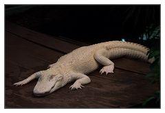 das weiße Krokodil