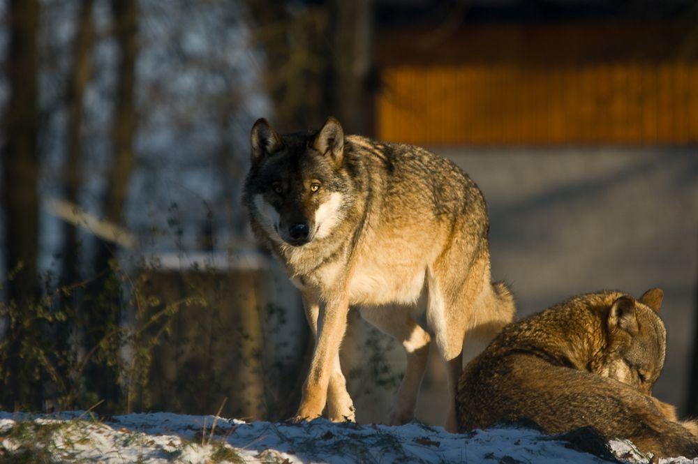 Das WolfsPaar