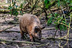 Das Wollschwein